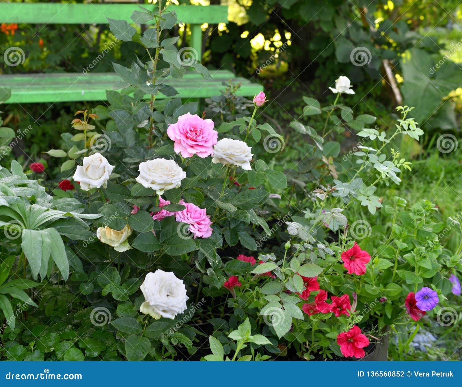 Image De Parterre De Fleurs beau parterre avec des roses et des fleurs de pétunia et