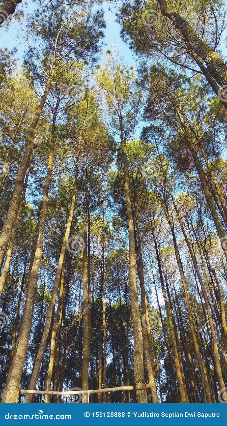Papier Peint Panoramique Paysage beau paysage dans la forêt indonésienne de pin pour le