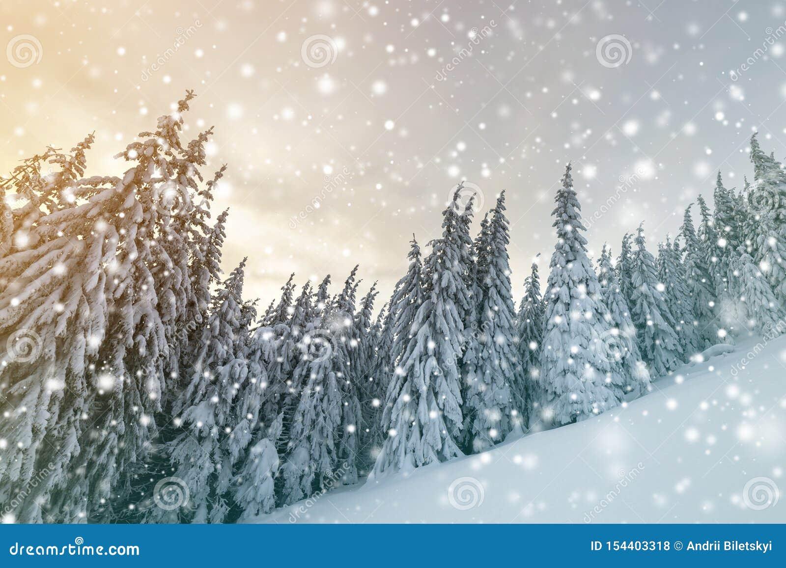 Beau paysage de montagne d hiver Arbres impeccables grands couverts de neige à la forêt d hiver et à l arrière-plan de ciel nuage