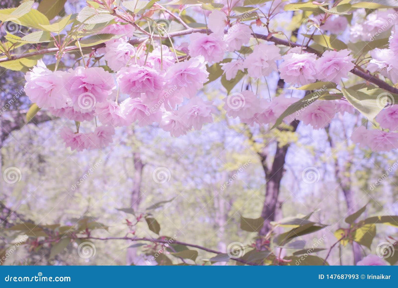 Beau paysage fabuleux Fleurs roses molles de Sakura et de branches japonais avec des feuilles