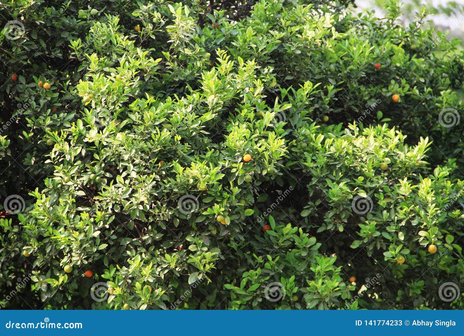 Beau petit arbre fruitier orange