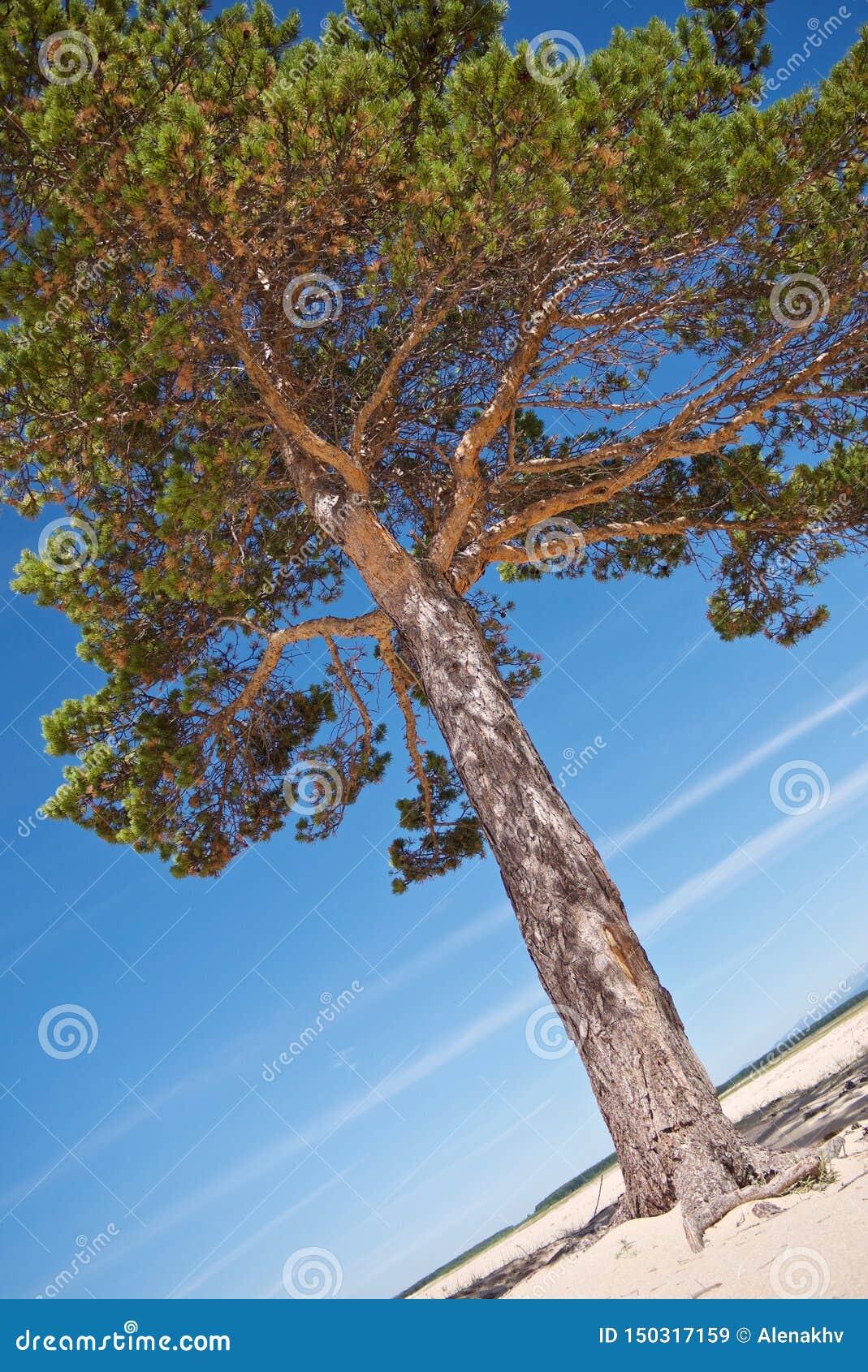 Beau pin à feuilles persistantes lumineux sur le rivage arénacé blanc