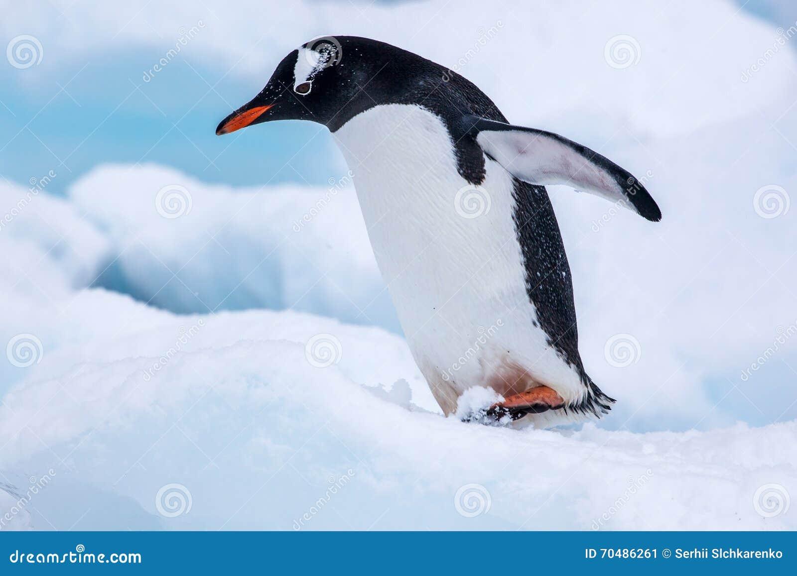Beau pingouin de gentoo marchant sur la neige en Antarctique