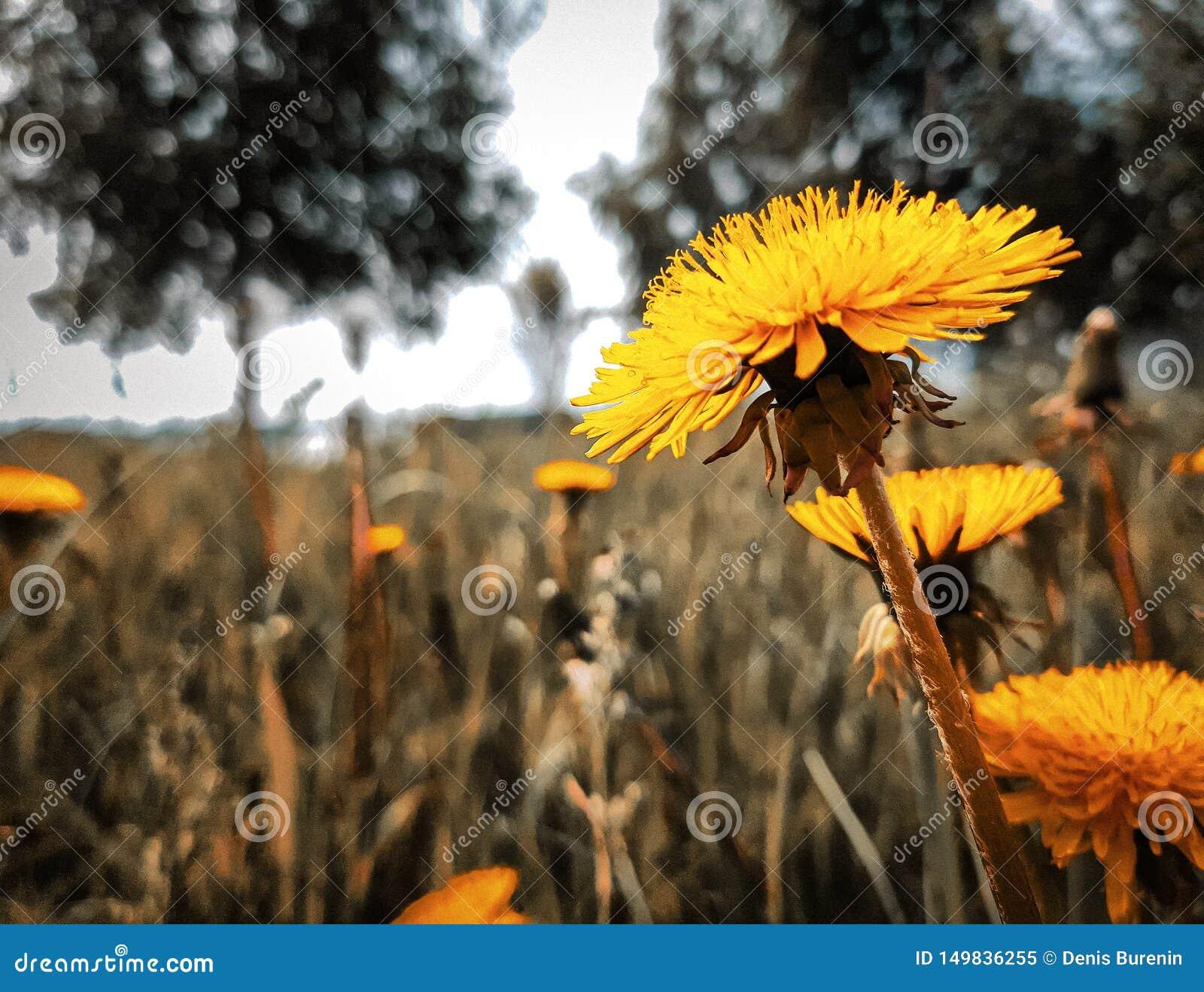 Beau pissenlit jaune lumineux, sur le fond brouillé de l herbe verte et des arbres
