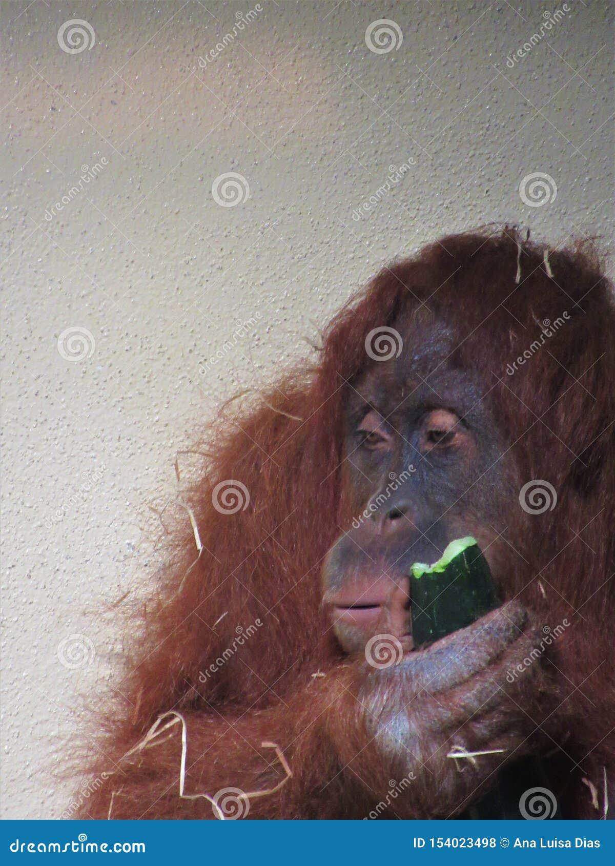 Beau plan rapproché d orang-outan