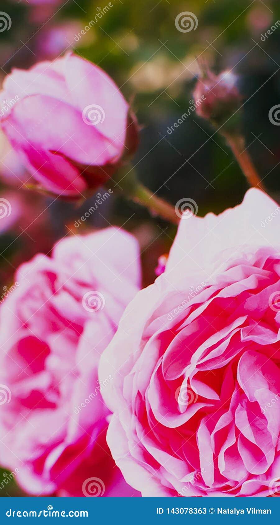 Beau plan rapproché de rose de rose Photo verticale r