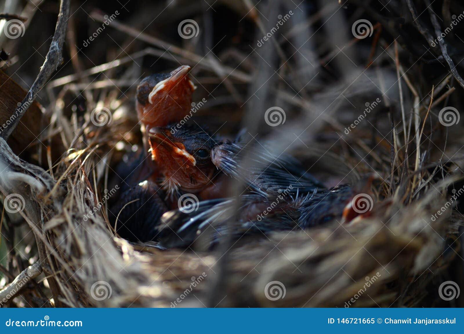 Beau plan rapproché des oiseaux de bébé rouge-barbus de bulbul dans le nid