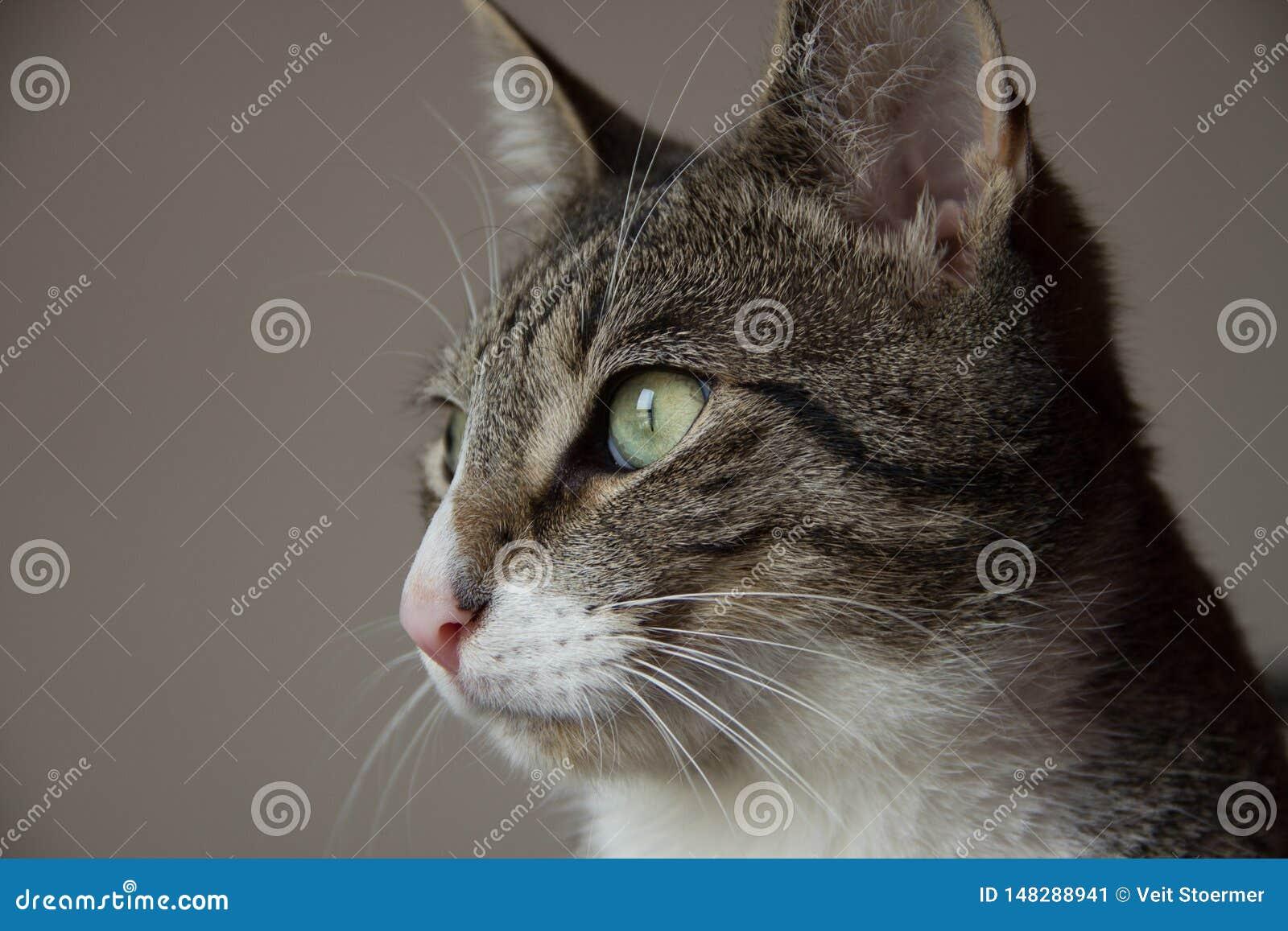 Beau portrait de chat tigré gris