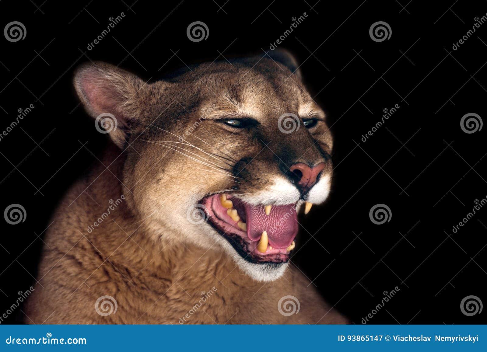 Beau portrait de puma