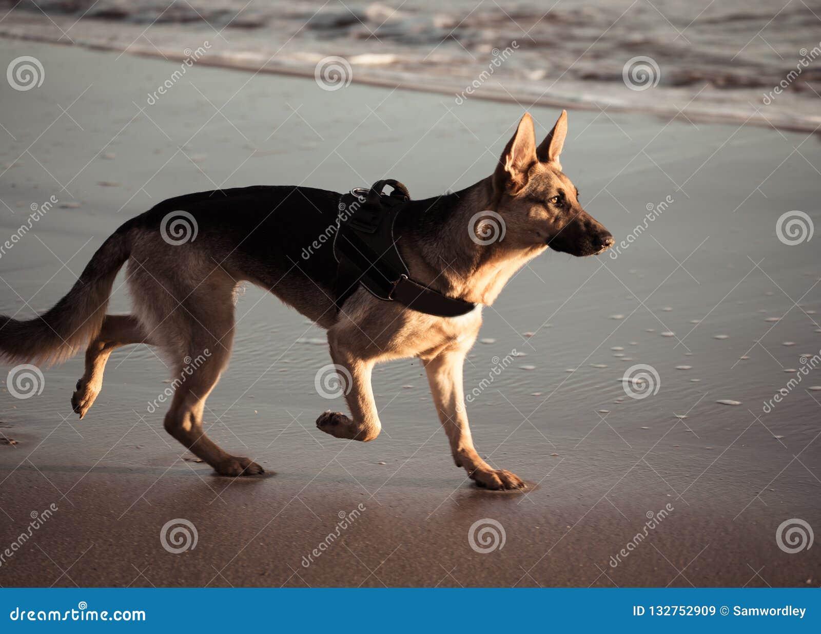 Beau portrait du jeune chien allemand de shepard marchant sur le rivage de la mer sur la plage au coucher du soleil