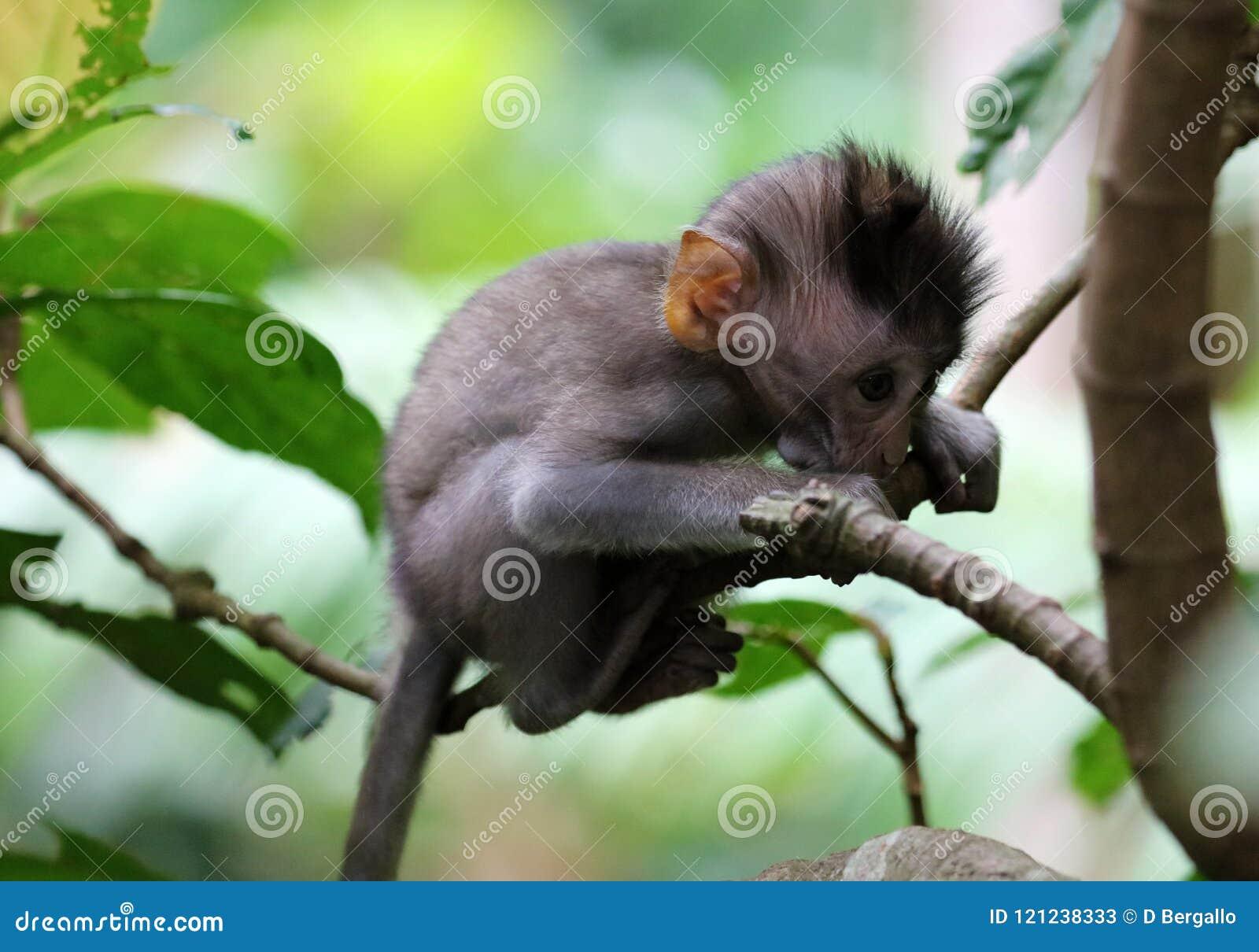 Beau portrait unique de singe de bébé à la forêt de singes dans Bali Indonésie, animal assez sauvage
