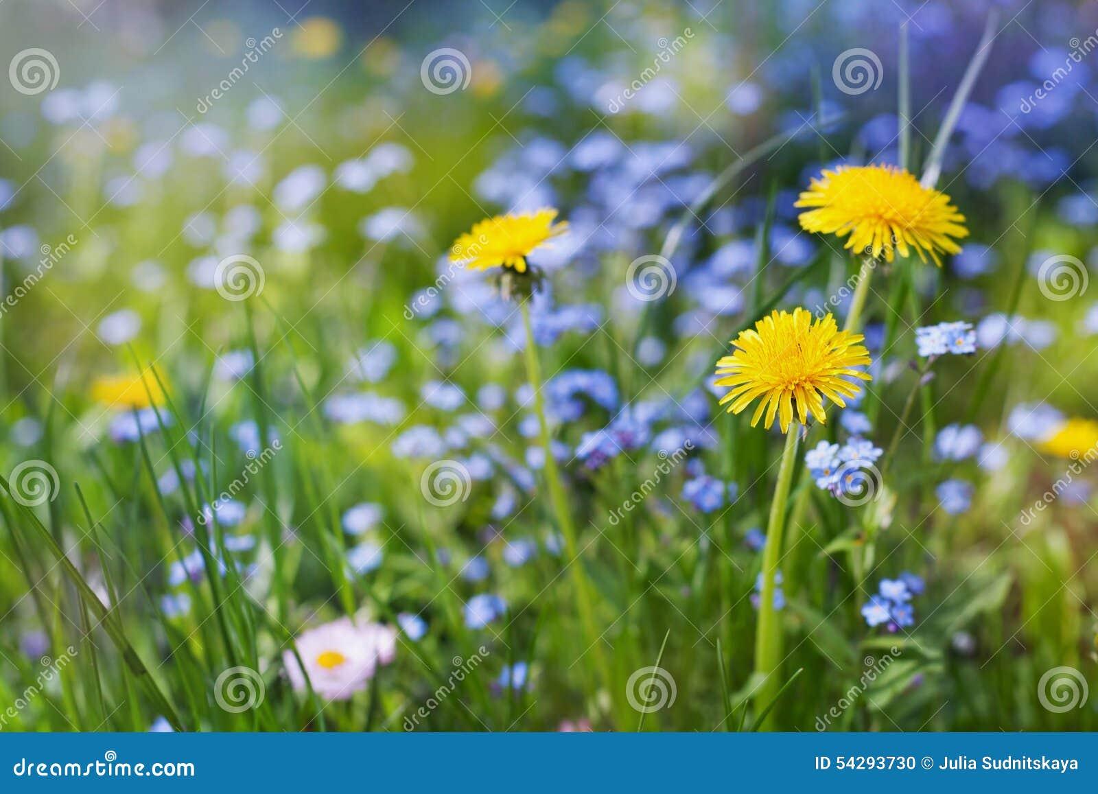 Beau pr d 39 t avec les pissenlits de fleurs et les myosotis des marais beau paysage de nature - Initiatives fleurs et nature ...