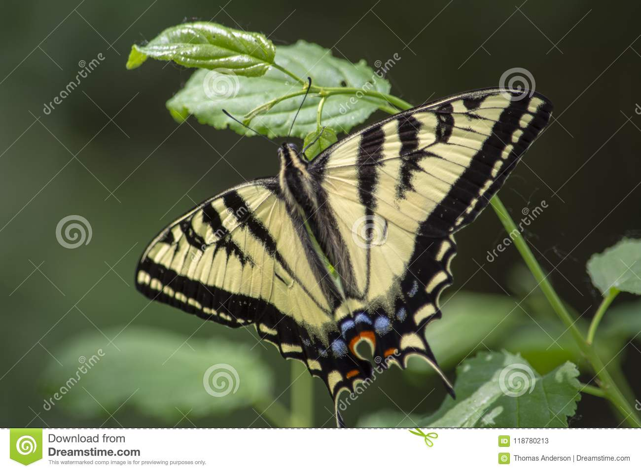 Beau Tiger Swallowtail Butterfly