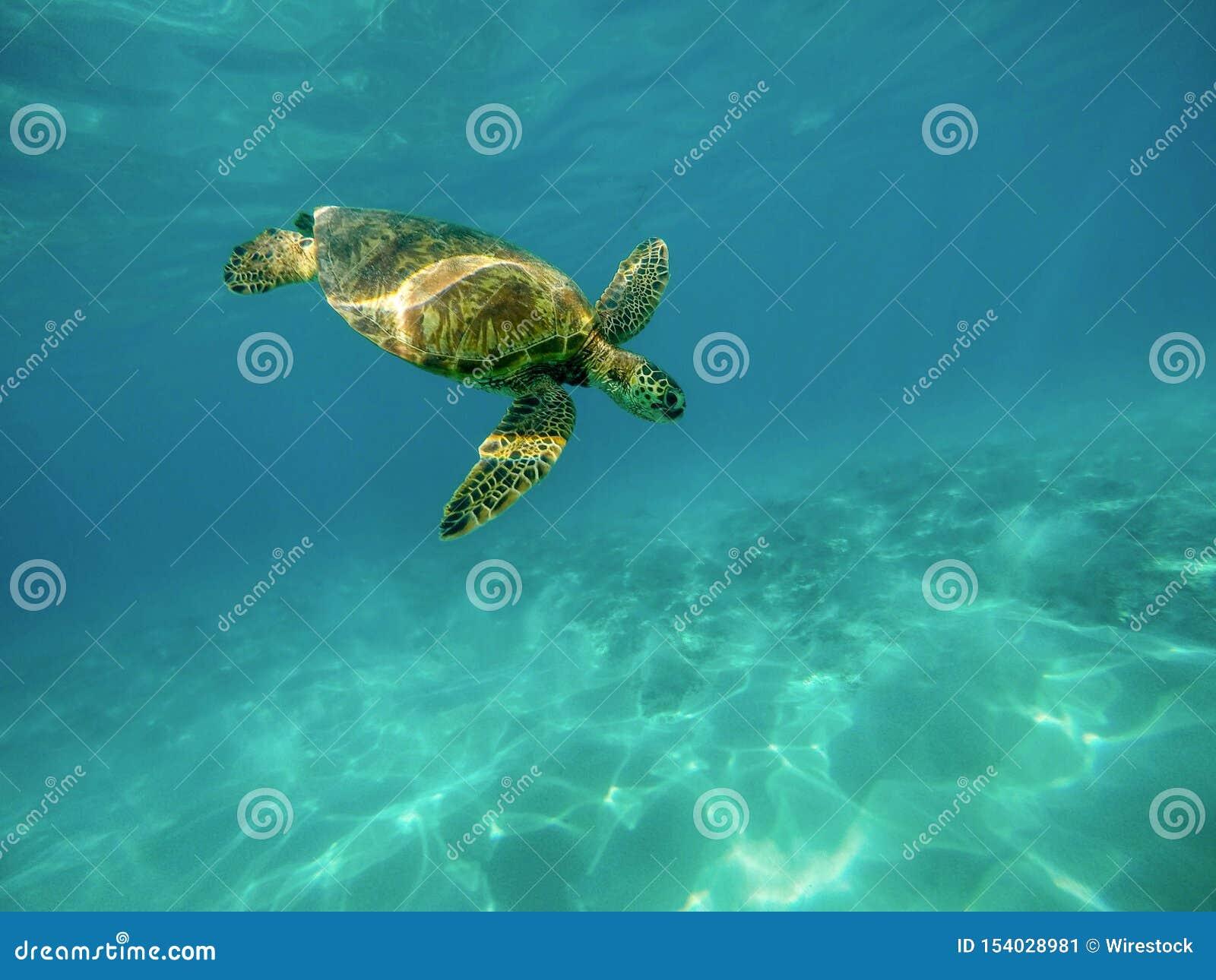 Beau tir de plan rapproché d une grande tortue nageant sous l eau dans l océan