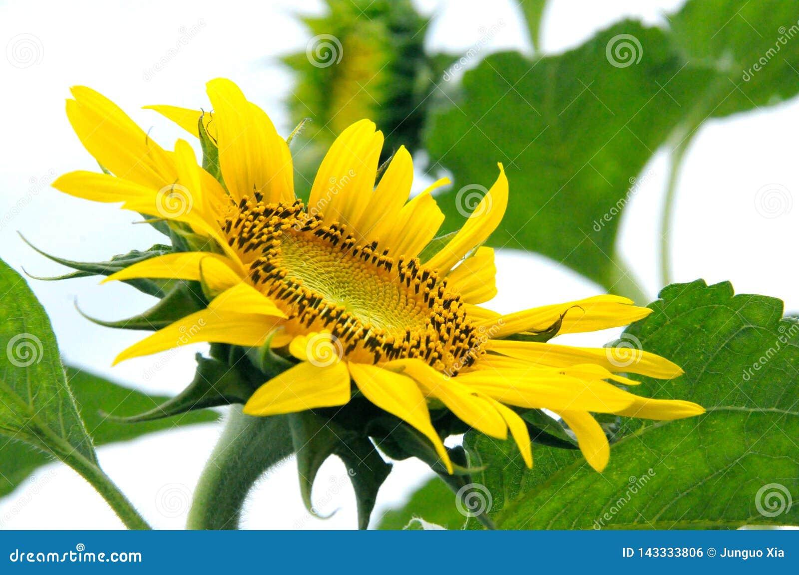 Beau tournesol jaune naturel dans le jardin