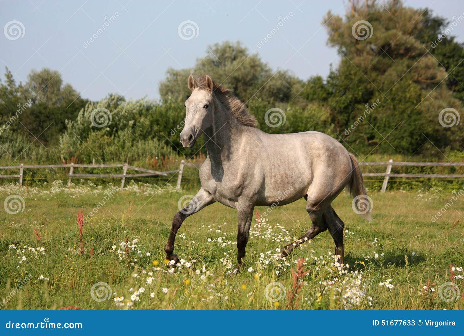 beau trot andalou gris de poulain jeune cheval gratuit