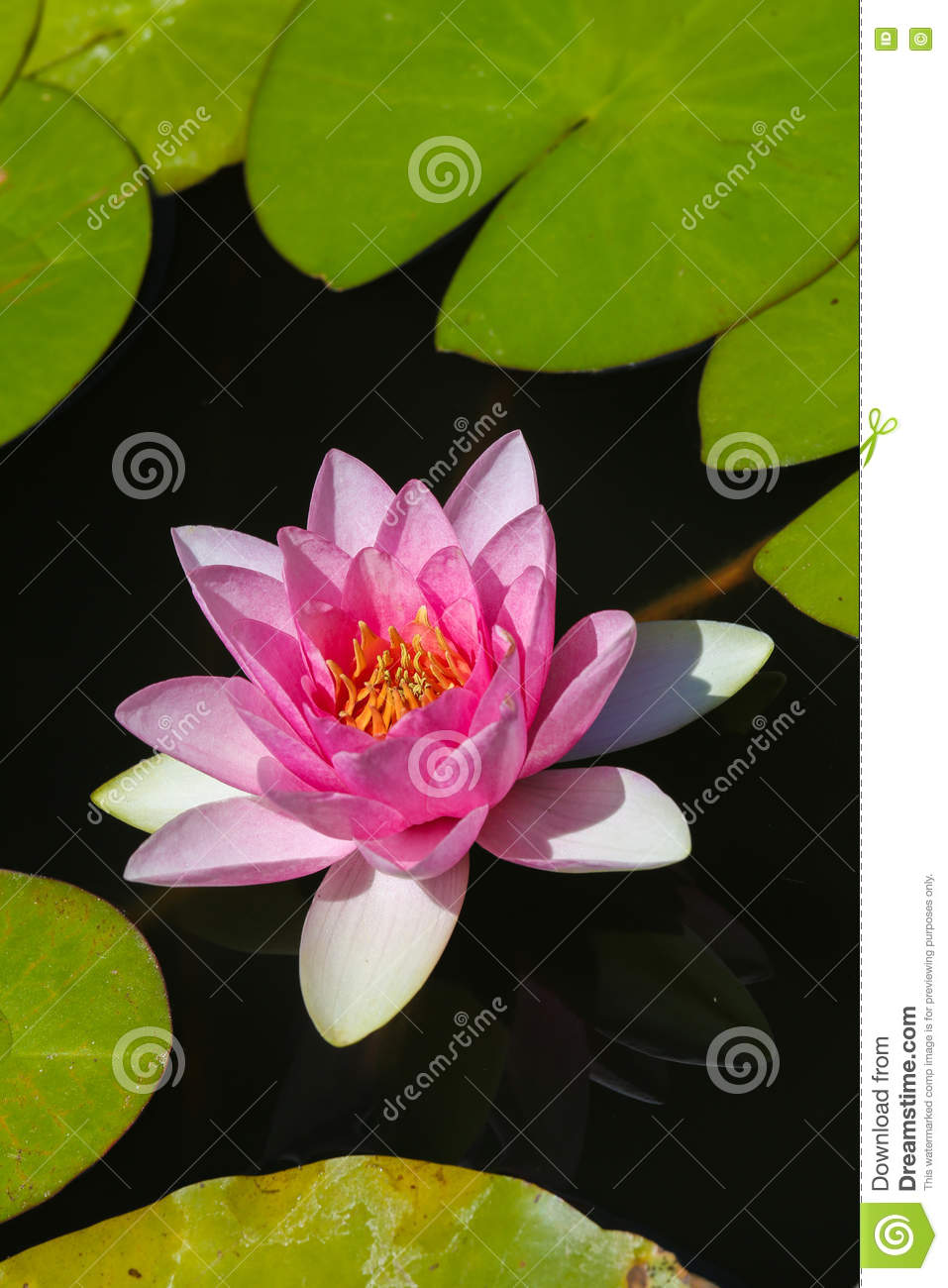 Beau waterlily