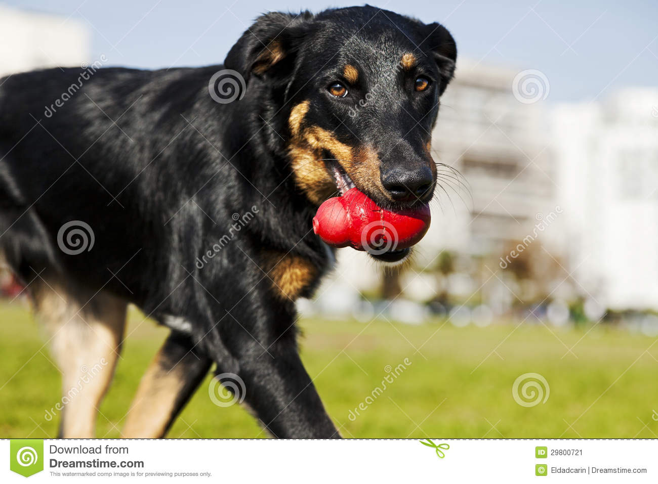 Beauceron / Australian Shepherd Dog With Toy At The Park ...