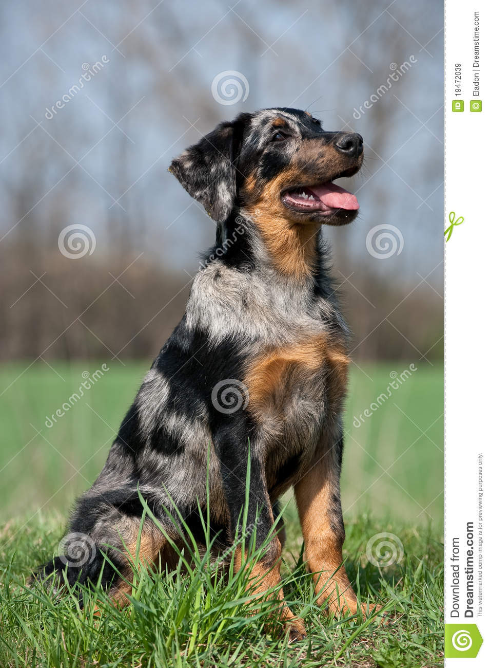 Beauceron Puppy Stock Image Image Of Harlequine Beauceron 19472039