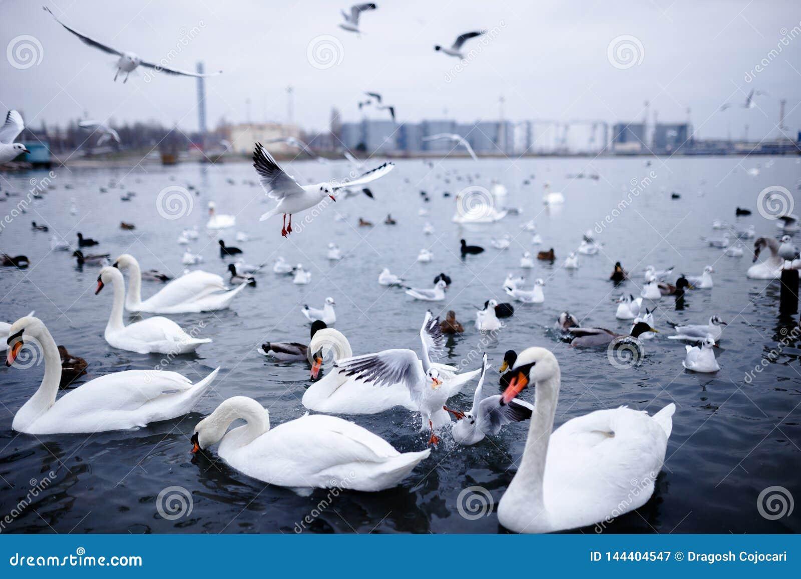 Beaucoup d oiseaux de groupe flottant sur la Mer Noire, Odessa
