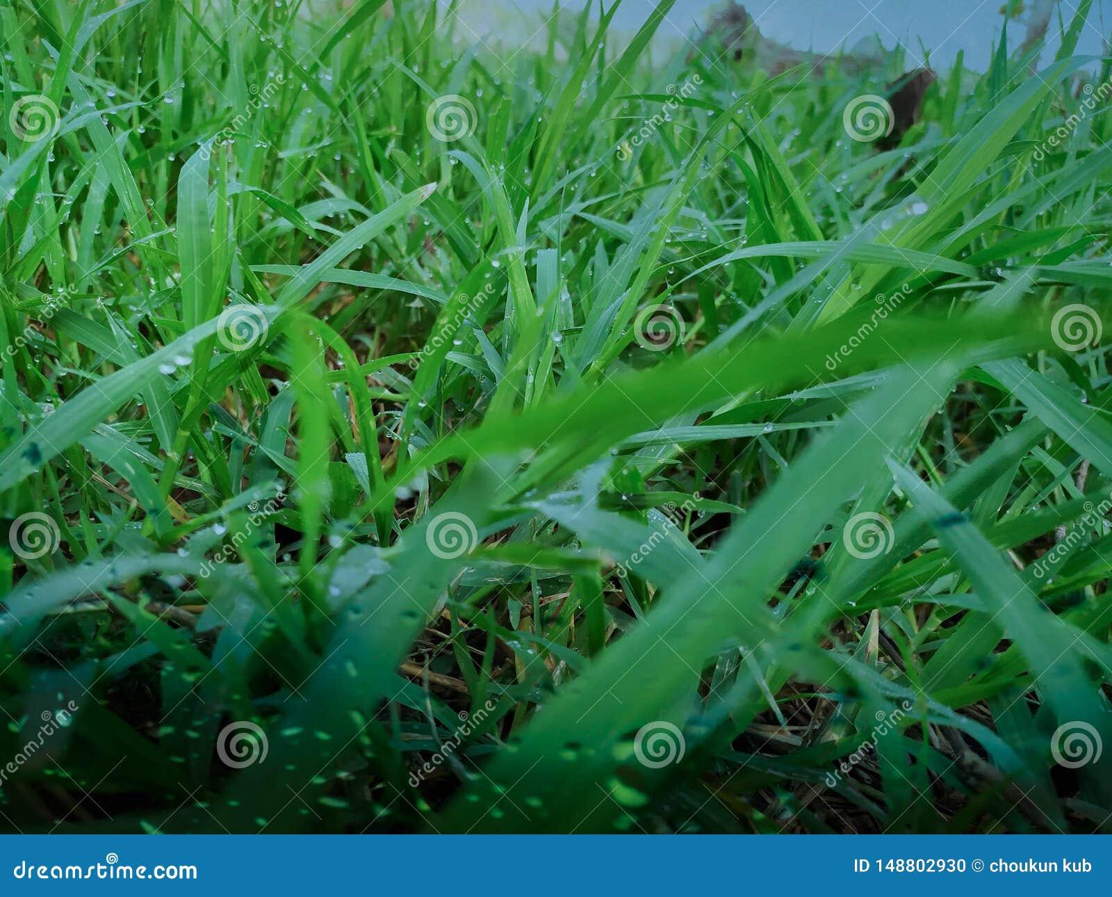 Beaucoup de baisses de ros?e sur le dessus de l herbe verte pendant le matin, l? est soleil orange, se sentant frais chaque fois