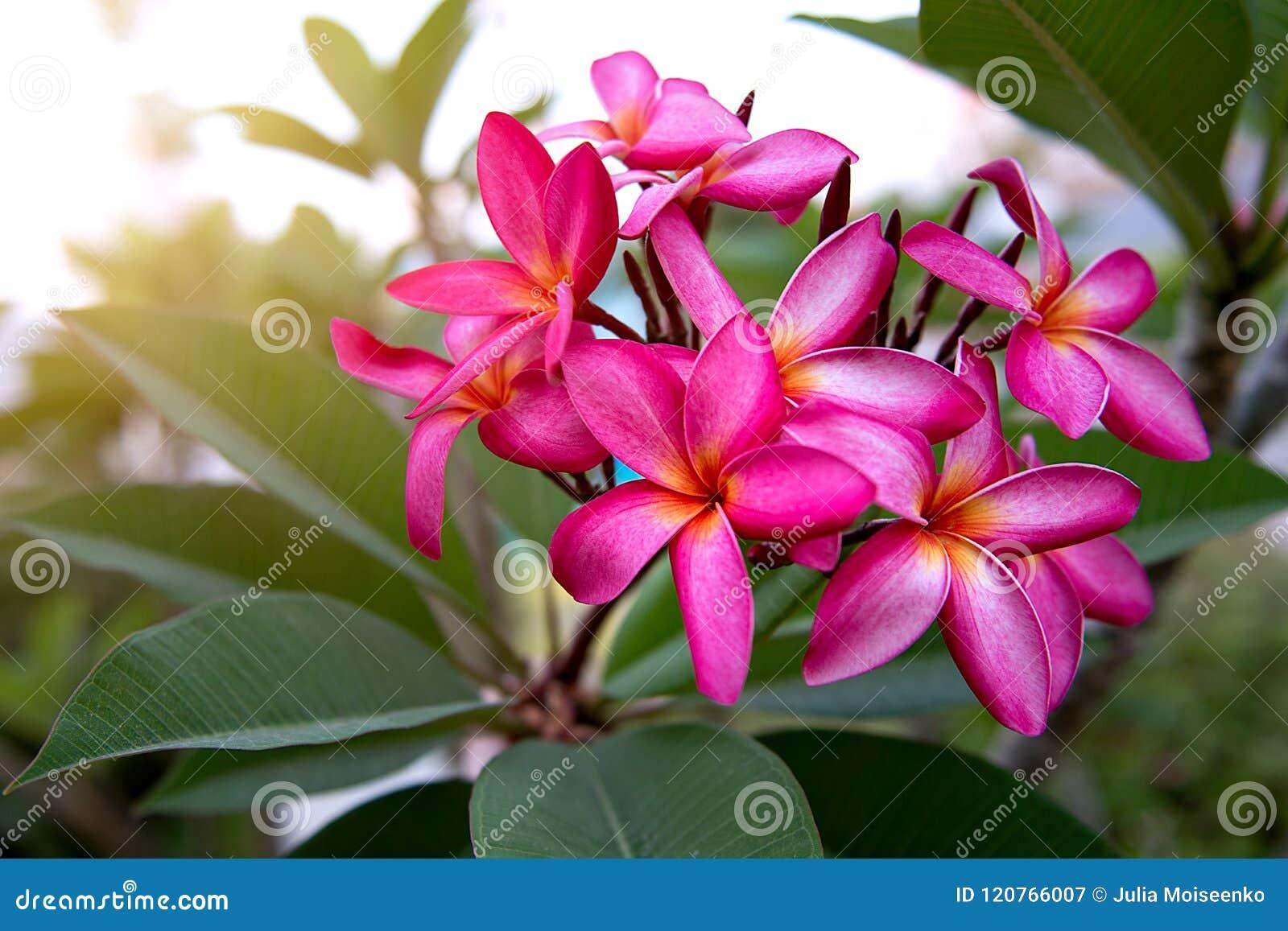 Beaucoup De Belle Coloree Horticulture Dans Les Tropiques Flowe