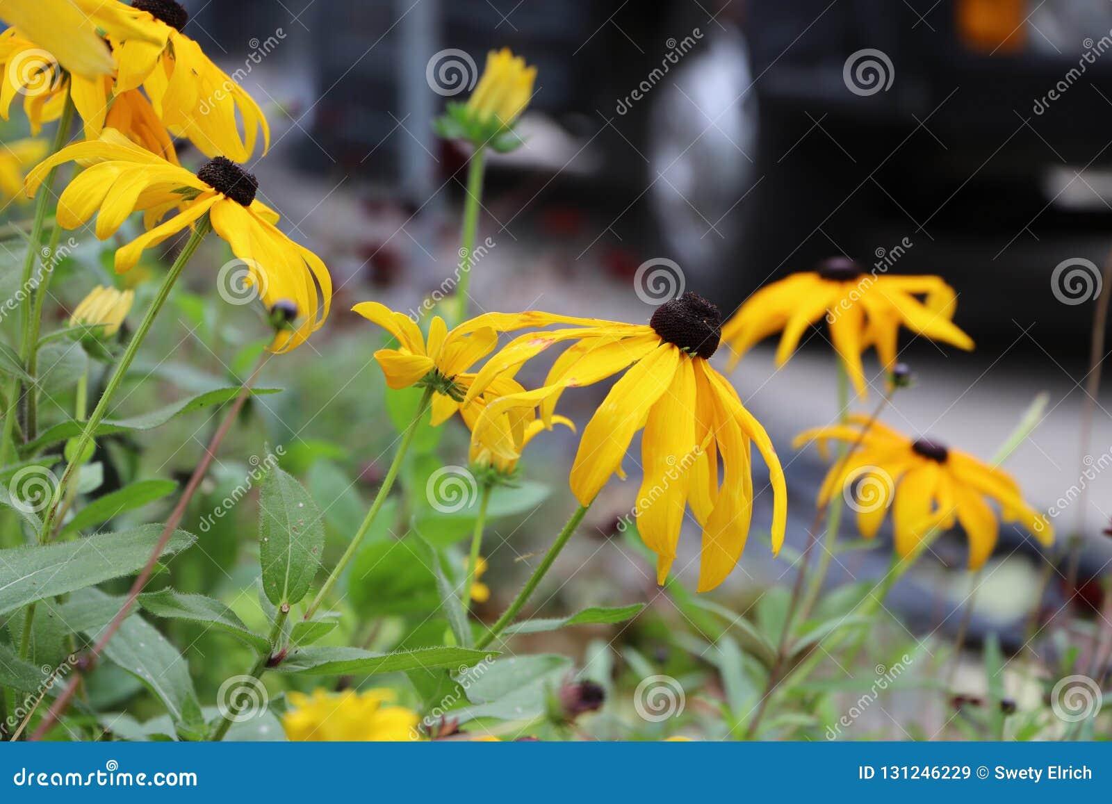 Beaucoup de belles fleurs aux yeux noirs de Susan