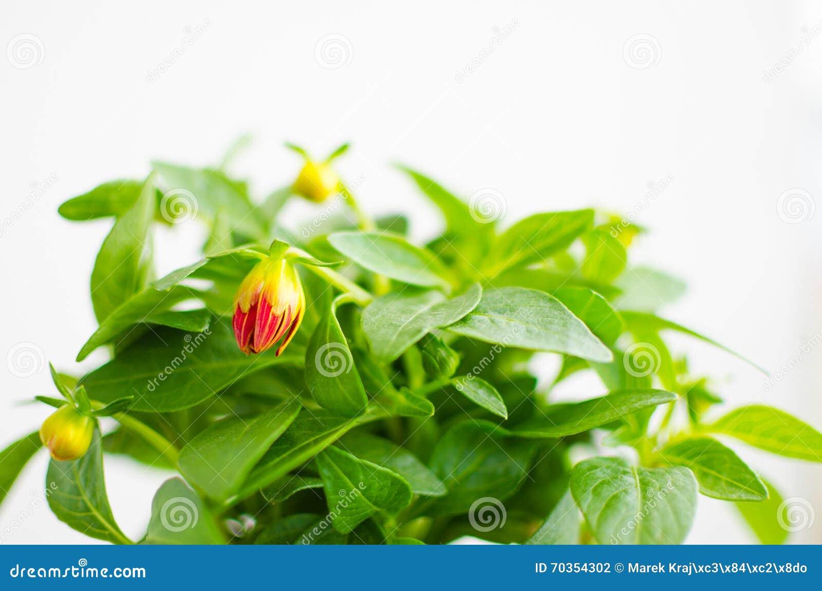 Beaucoup De Feuilles De Vert Avec Le Bourgeon Rouge Photo Stock