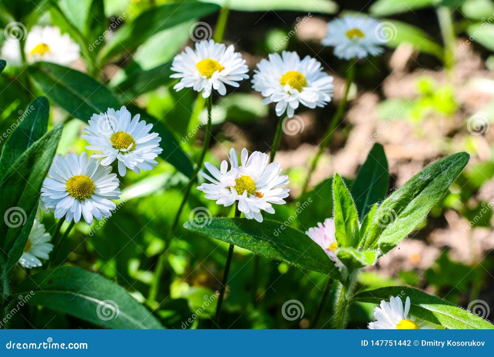 Beaucoup de marguerites blanches au soleil