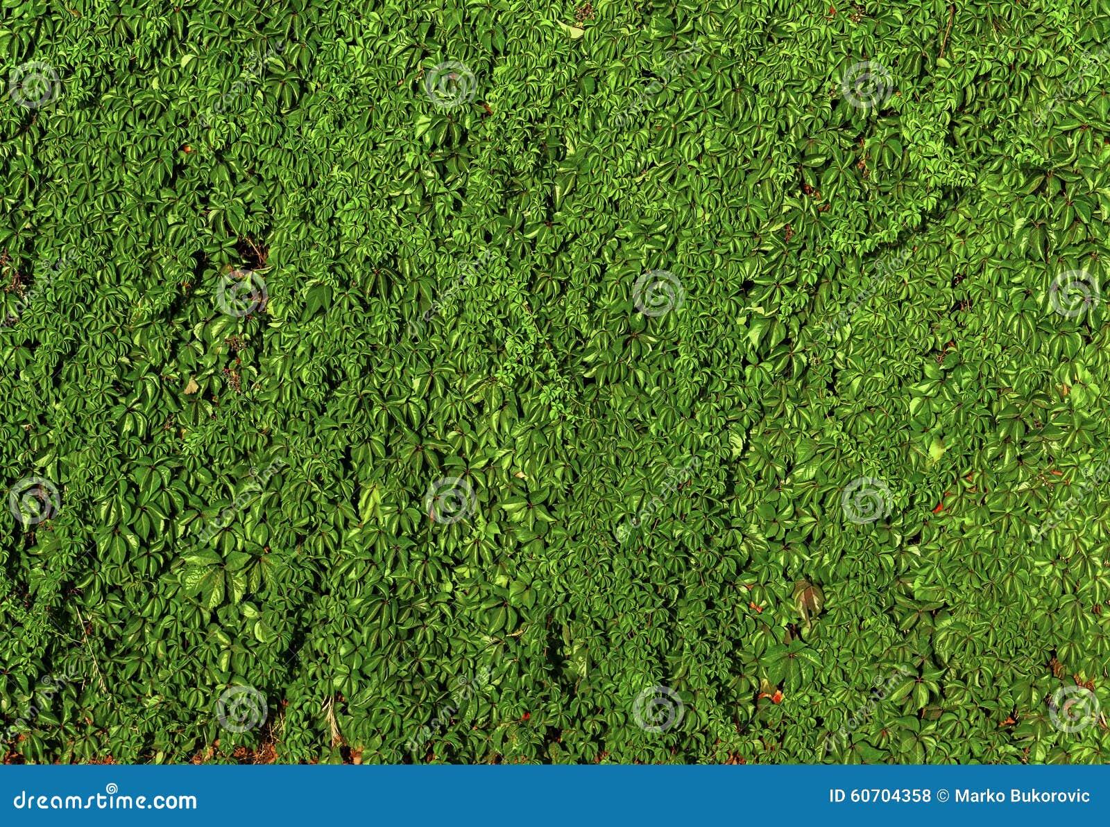 beaucoup de plante grimpante verte de haie de lierre sur le mur de ciment photo stock image. Black Bedroom Furniture Sets. Home Design Ideas