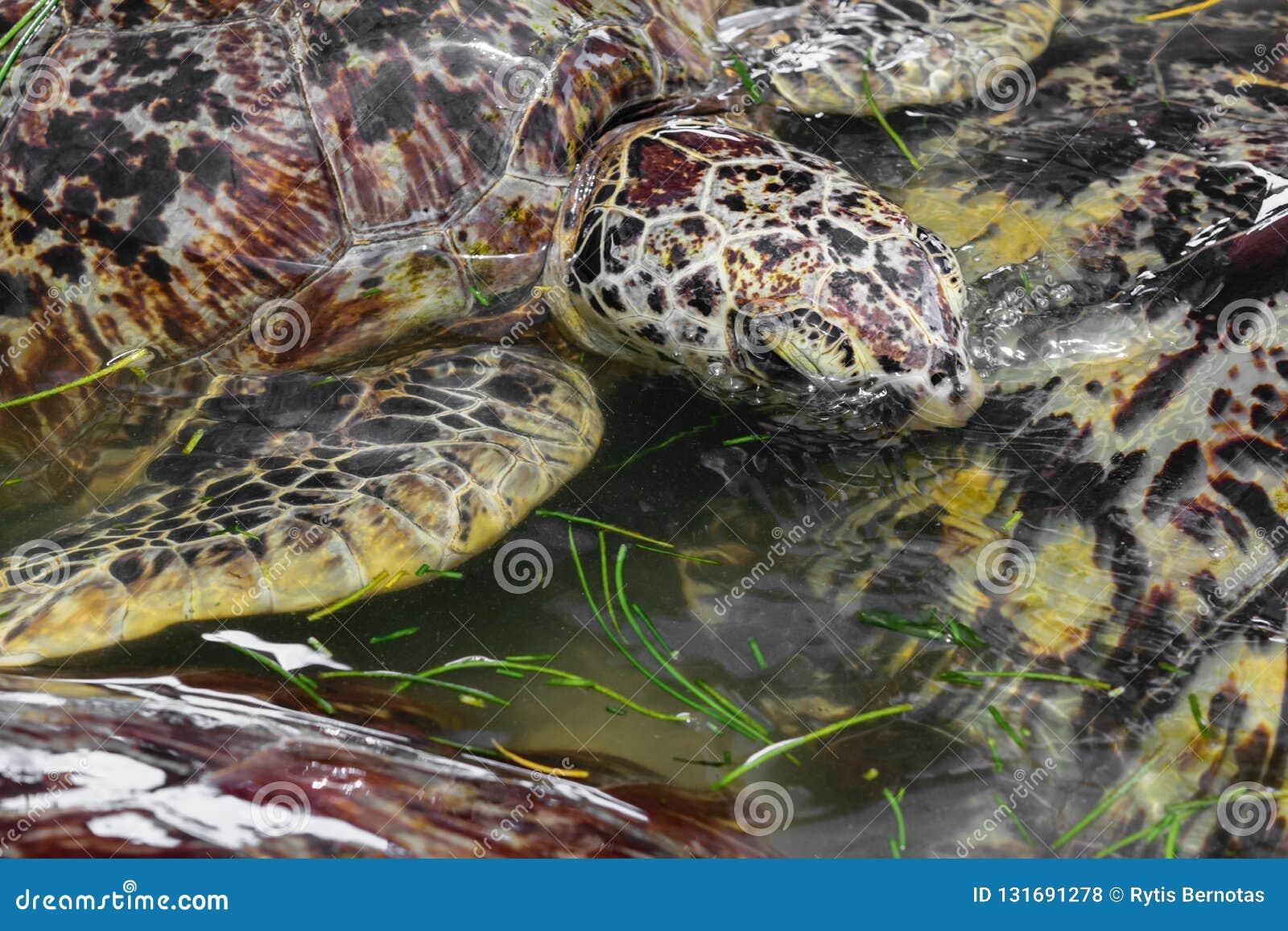 Beaucoup de tortues de mer nageant dans l étang d eau et mangeant l herbe de mer dans Bali, Indonésie