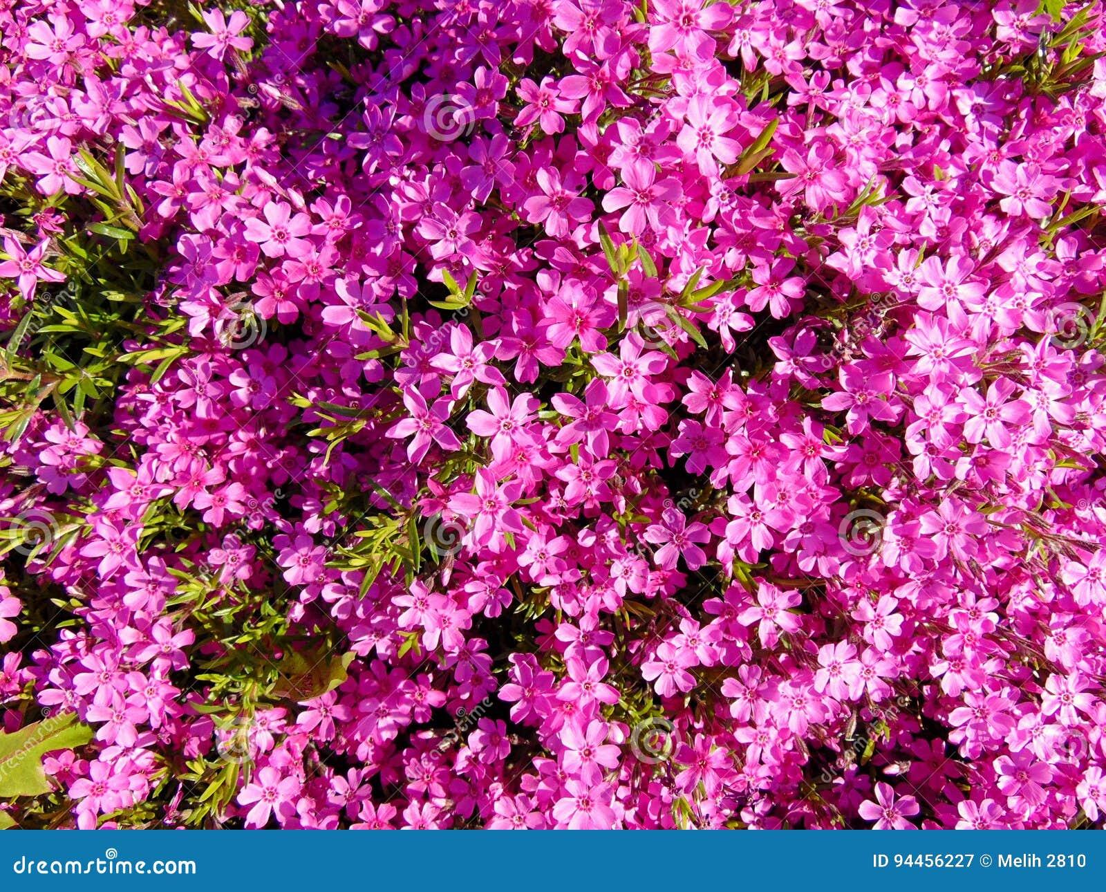 Beaucoup le beau rose fleurit le fond/papier peint