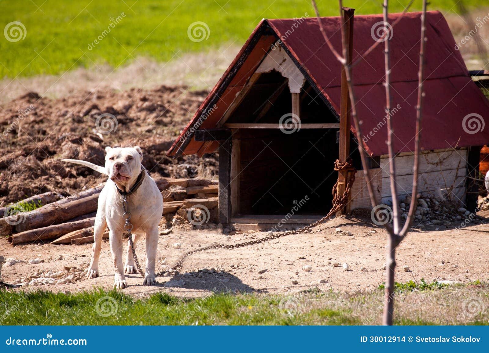Pitbull Stock Photo Image Of Dog Closeup Adult Brown