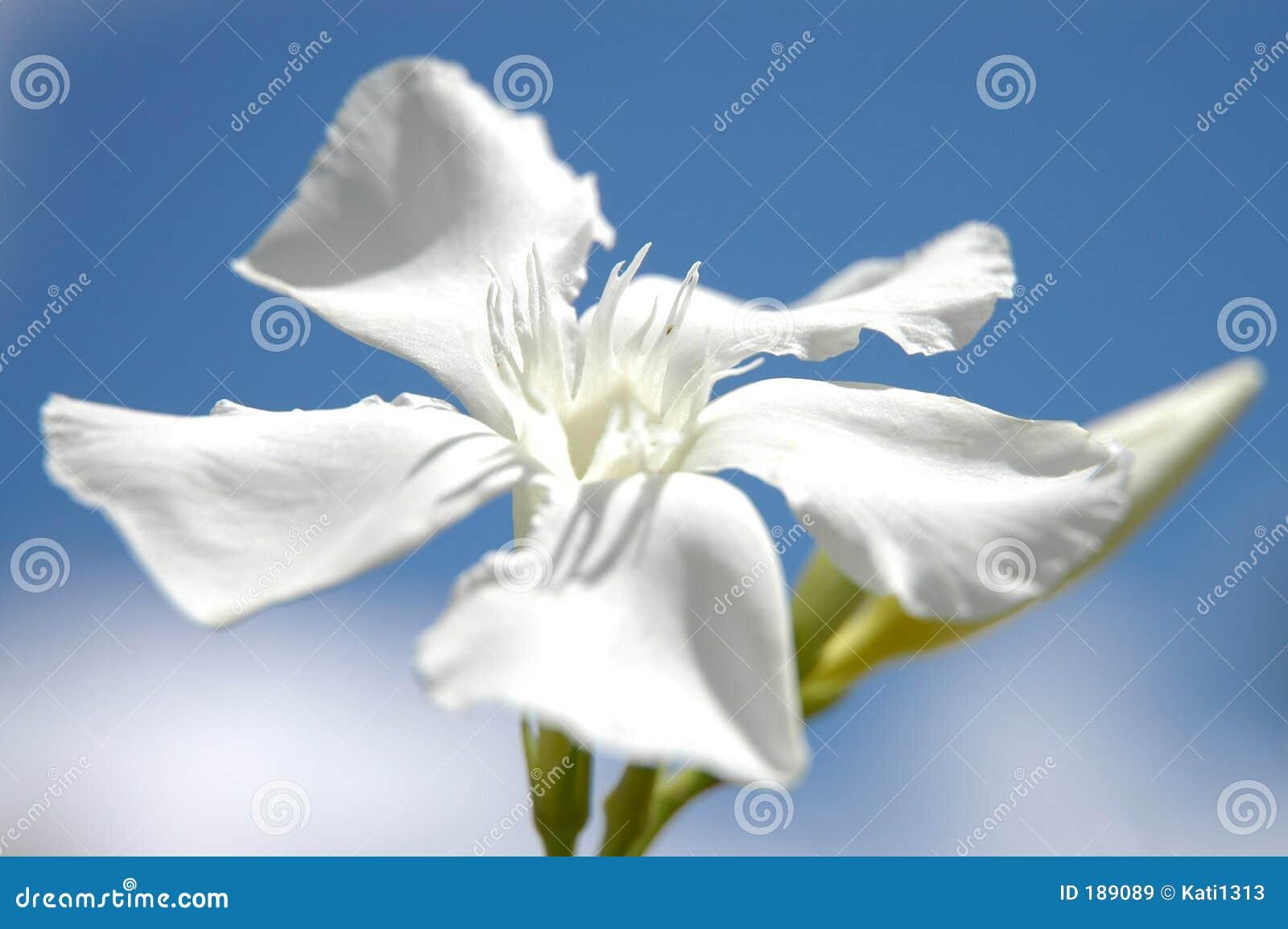 Beauté blanche III