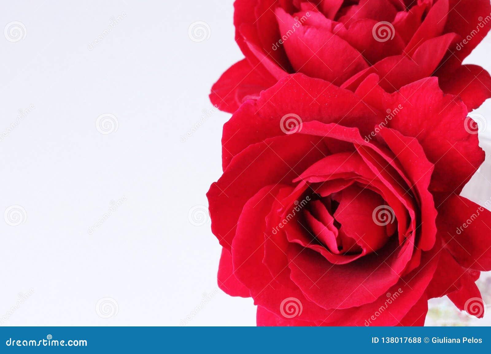 Beauté sans fin - roses rouges pour vous - étroitement sur blanc