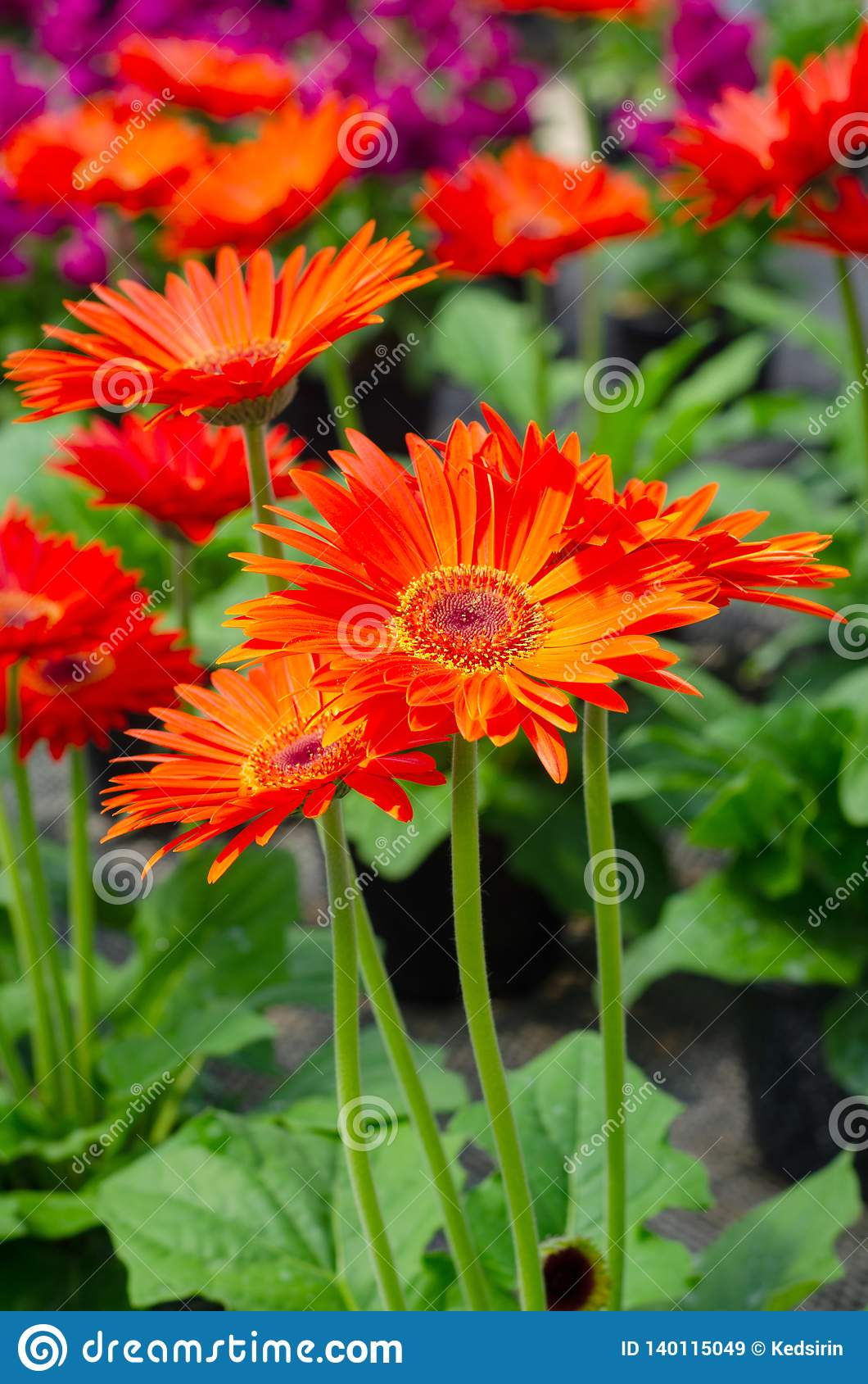 Transvaal Daisy Or Majorette Gerbera Flower In The Garden Stock Image