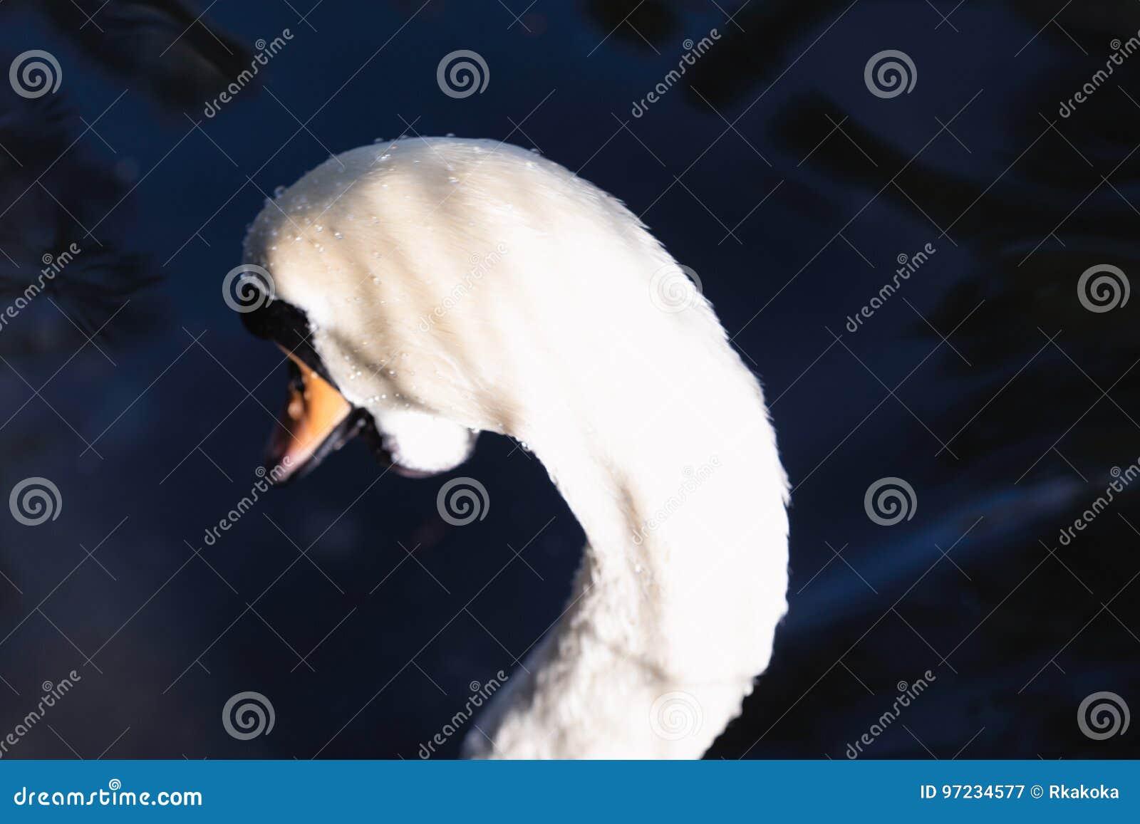 Beautiful abstract surreal white swan looking away at deep dark