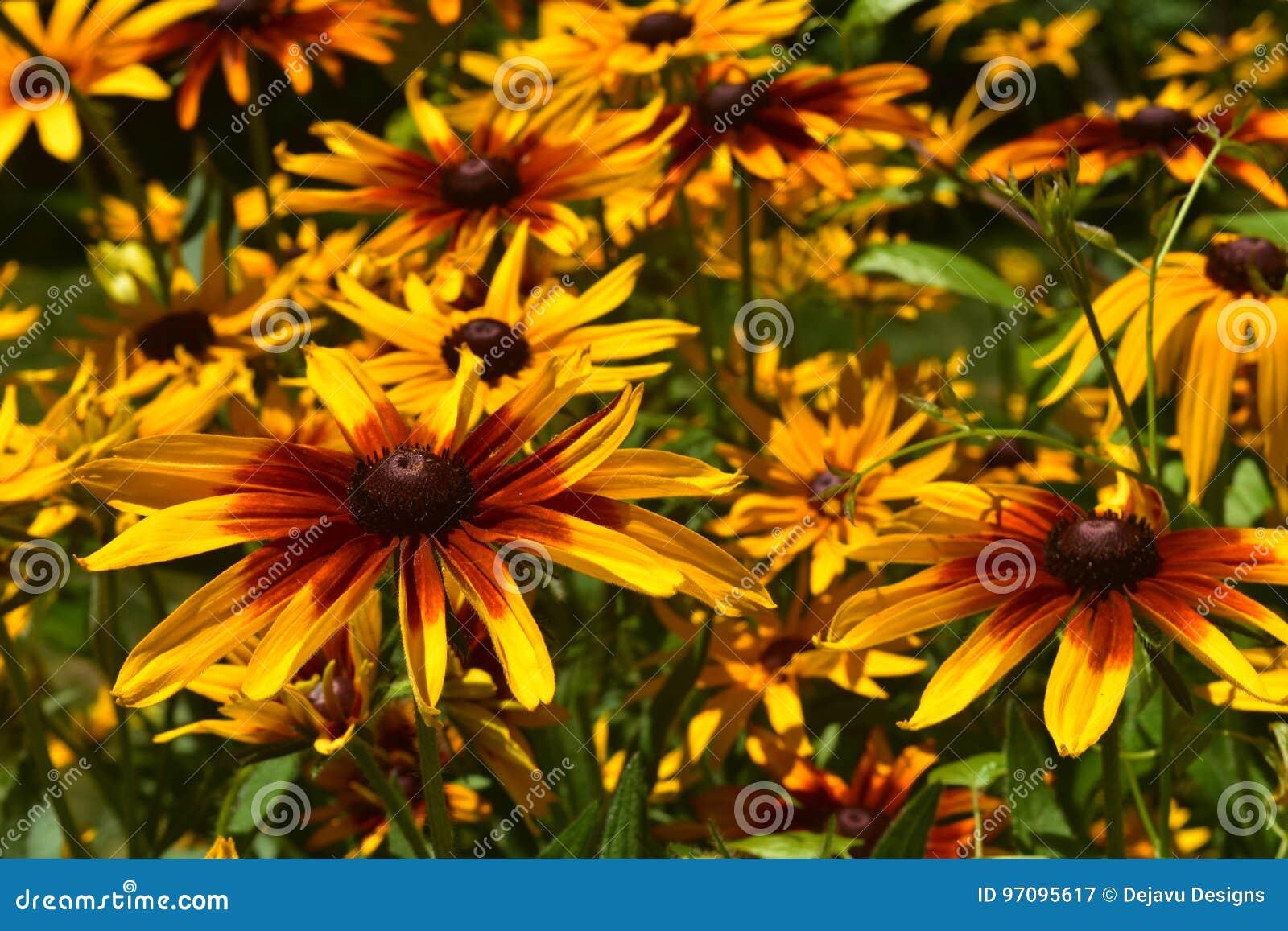 Beautiful Abundance of Black Eyed Susan Flowers