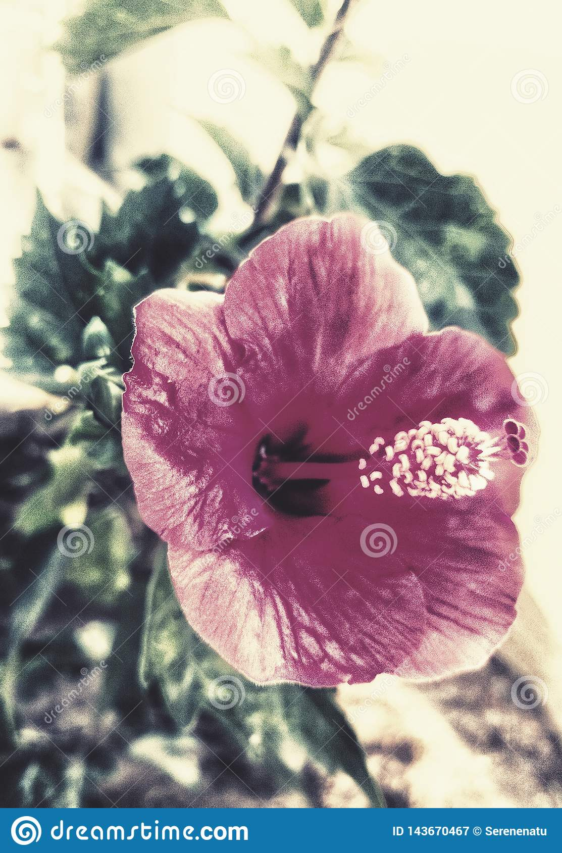 A Beautiful Hibiscus Flower With An Aesthetic Touch Stock Image