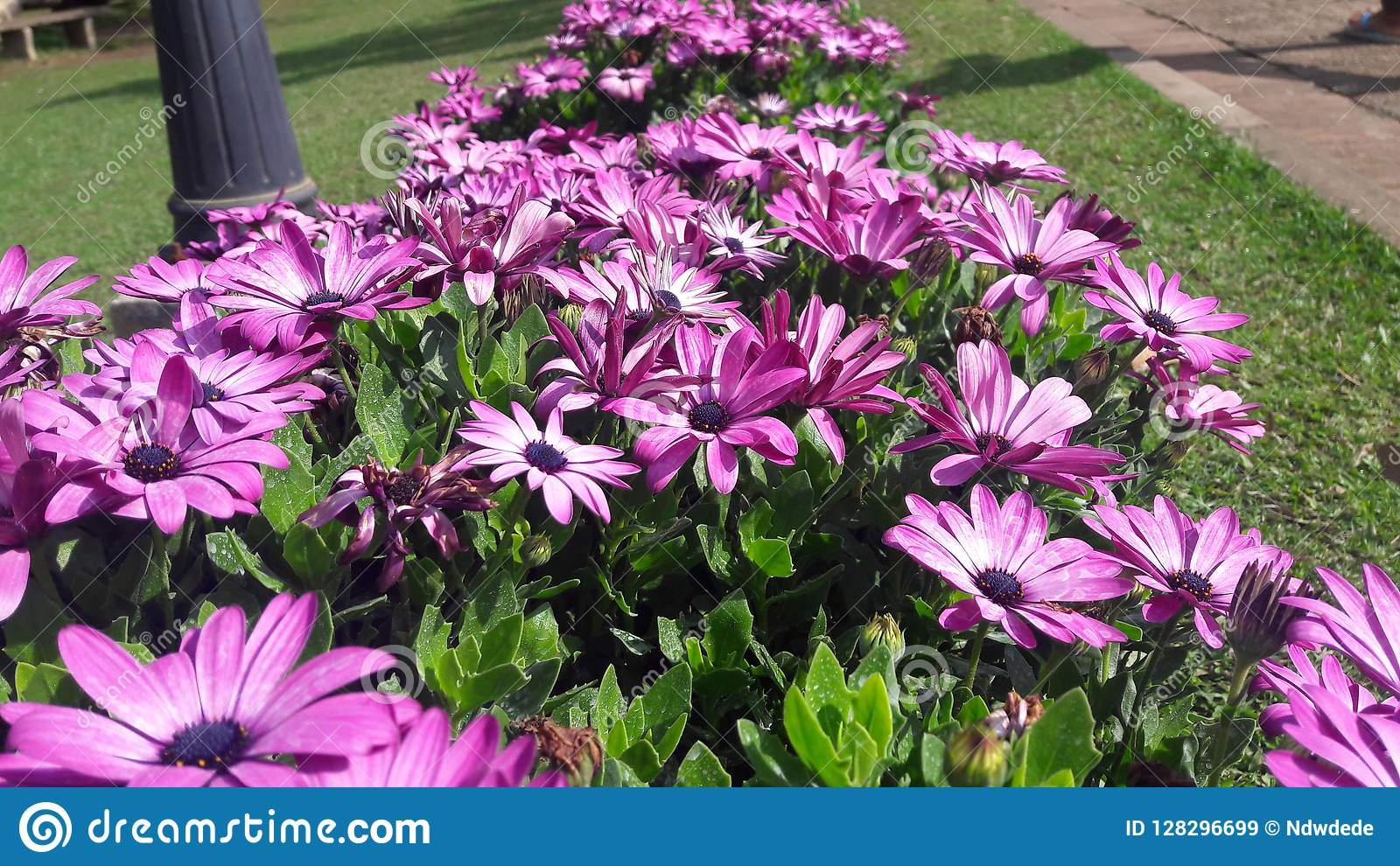 Awesome African daisies flowers with purple petals nice color royalty free stock images