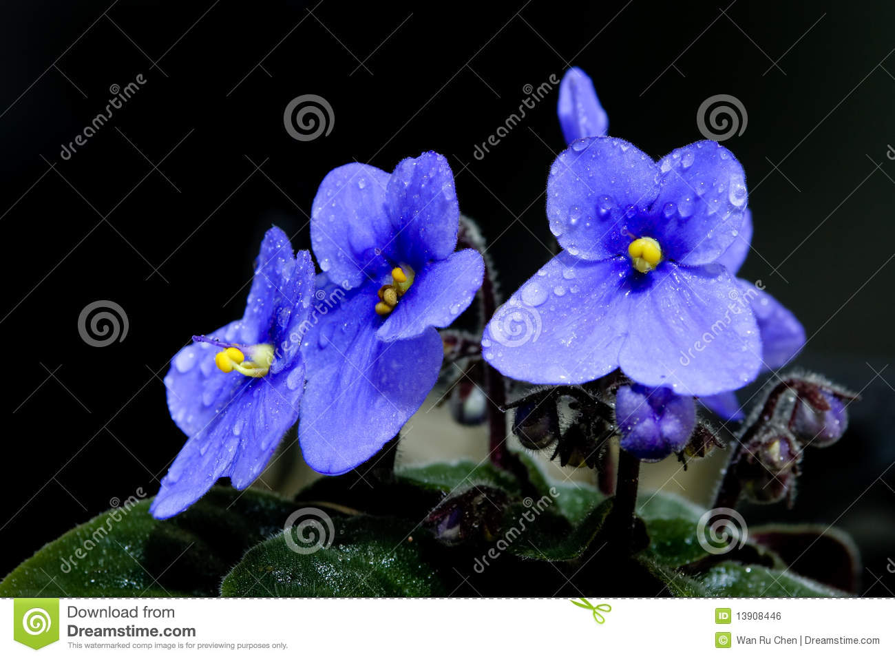 The Beautiful African Violet Stock Photo Image Of Green Growing