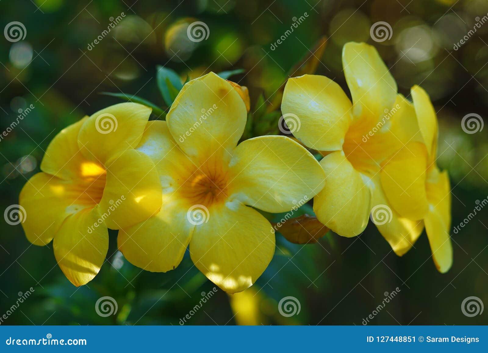 Allamanda Cathartica Flower Stock Image Image Of Pathn Leaves