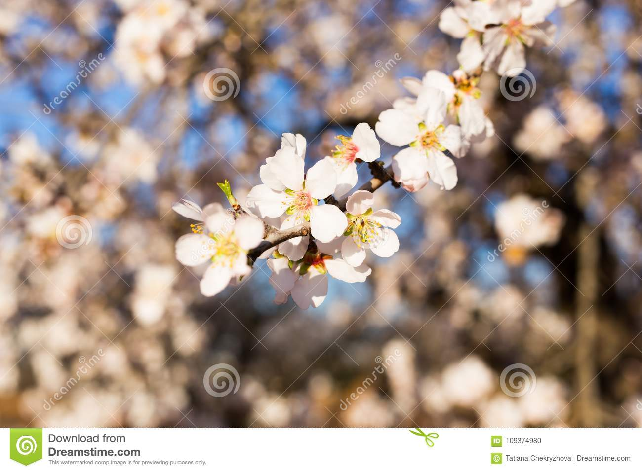 Spring Flowering And Nature Concept Beautiful Almond Flowers