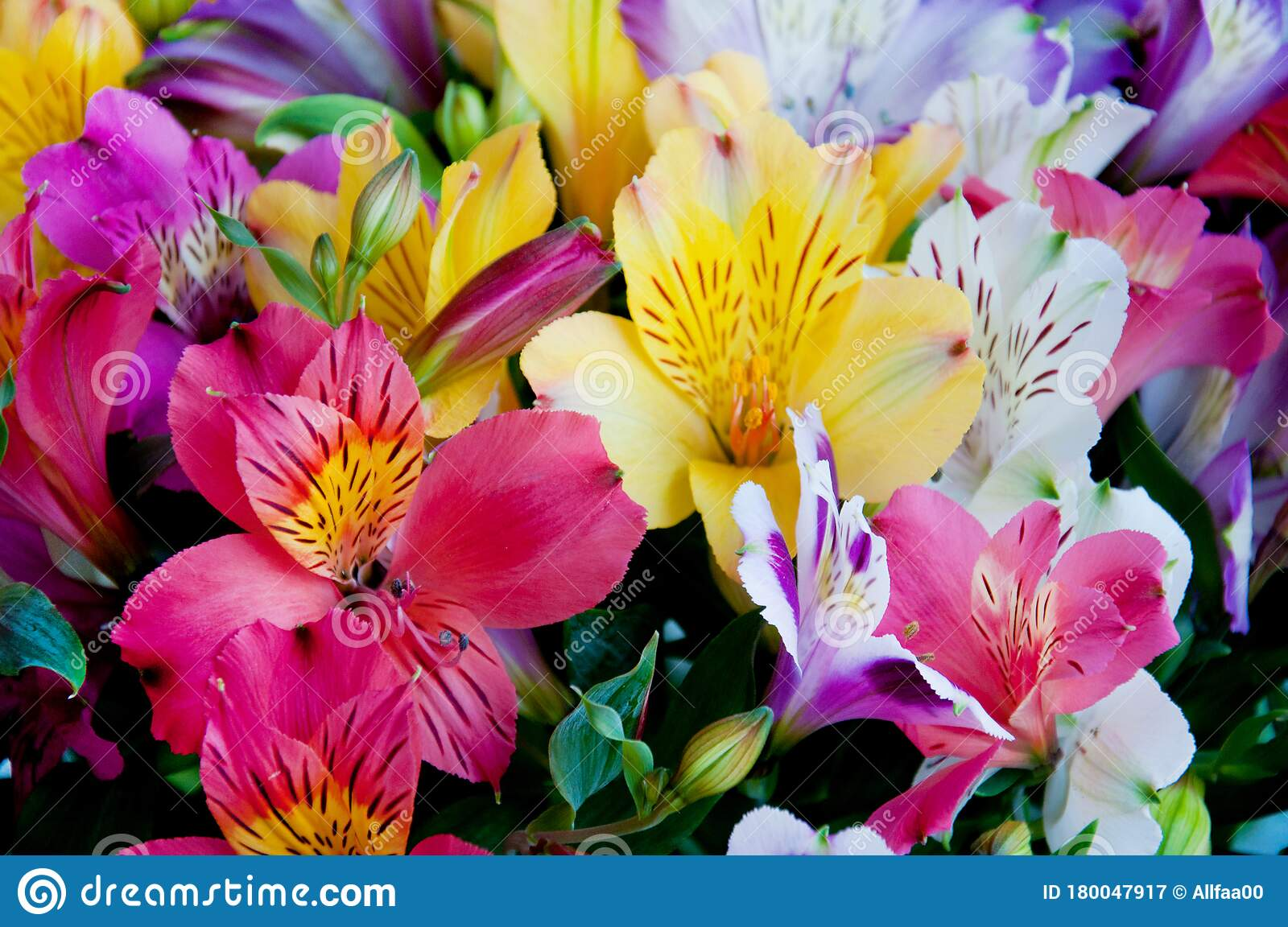 Beautiful Alstroemeria Flower Background Alstroemeria Flower Colorful Peruvian Lily Close Up Stock Image Image Of Bright Lily 180047917