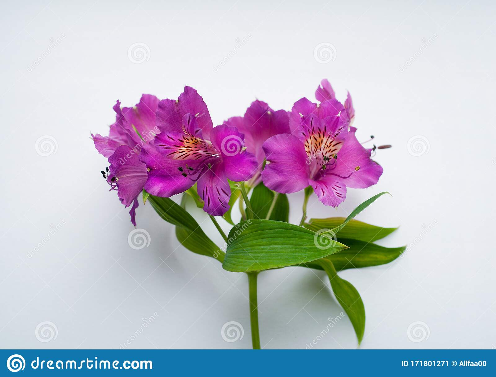 185 Alstroemeria White Purple Peruvian Lily Photos Free Royalty Free Stock Photos From Dreamstime