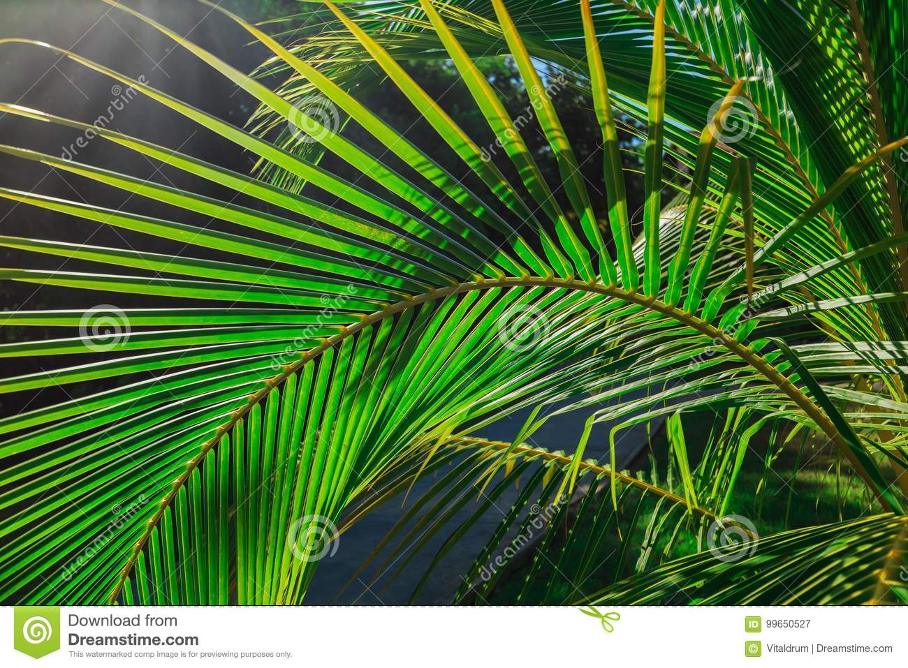 Download Amazing Closeup Detailed View Of A Natural Green Palm Leaf, Lit By Sun Rays In Tropical Garden Stock Image - Image of fabulous, beauty: 99650527