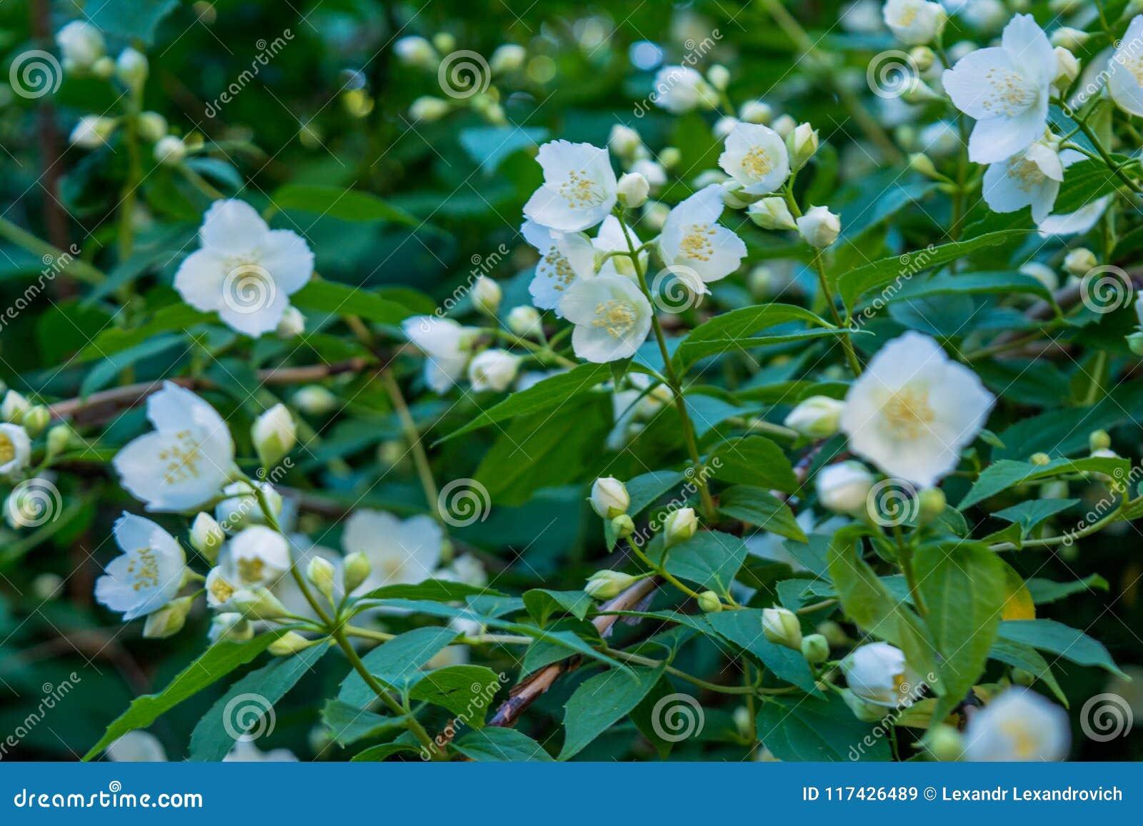 Beautiful Amazing White Jasmine Flowers On The Bush In The Garden