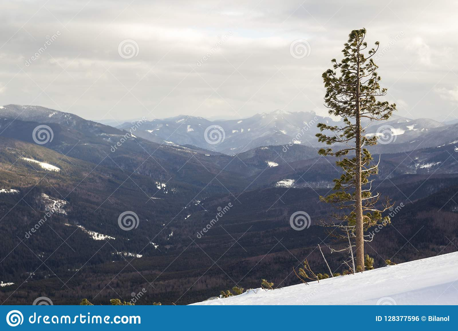 Beautiful amazing wide view winter landscape. Tall pine tree alone on mountain steep slope in deep snow on cold frosty sunny day