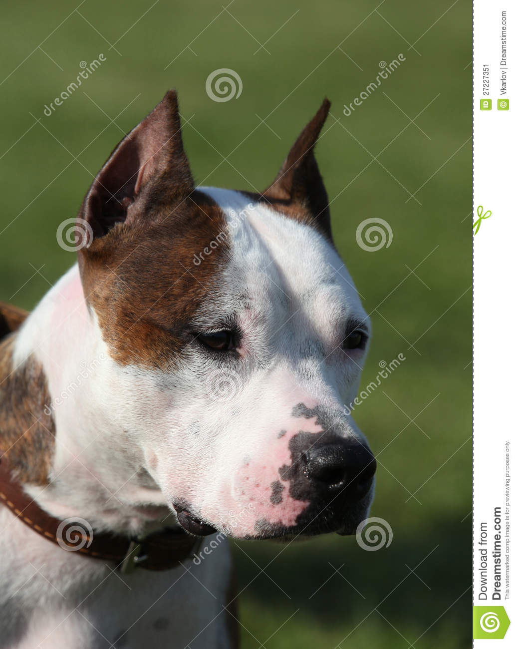 Beautiful American Staffordshire Terrier Stock Image - Image: 27227351