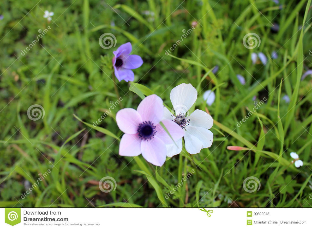 Beautiful anemone flowers stock photo image 90820943 for Dream plants for the natural garden